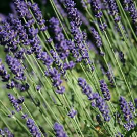 Raum-/Duftspray Lavendel <br><br><br> entspannend & reinigend<br>12 ml<br><br>