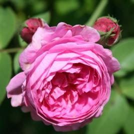 Raum-/Duftspray Rosenblüten <br><br><br>besänftigend & harmonisierend<br> 100 ml<br><br>
