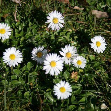 Die schöne Ausdauernde – das Gänseblümchen