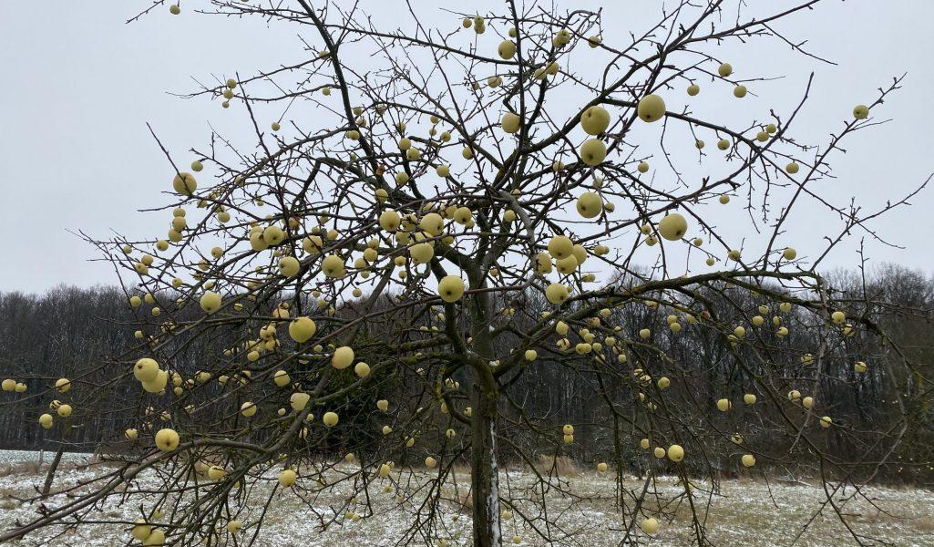 Apfelbaum Streuobstwiese Wildkräuter